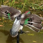 Motorized Flapping Wing GW Teal Decoy